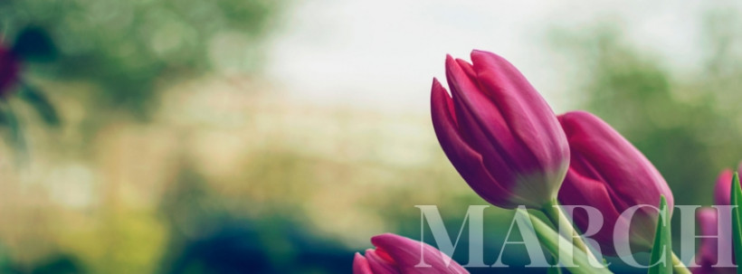 March Facebook cover template, tulips photo
